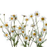 Применение ромашки при лечении простатита: лечебные свойства и отзывы