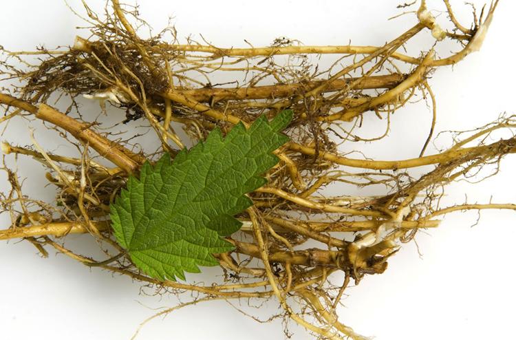Свежий корень крапивы
